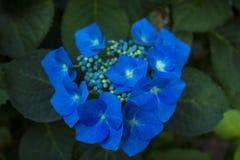 Flammande blåttblommor arkivbild