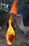 Flammande träd Royaltyfri Bild