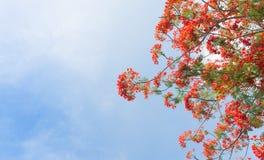 Flammaträd eller kunglig personPoinciana träd Royaltyfri Bild