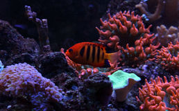 Flamme Angelfish Lizenzfreies Stockfoto