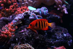 Flamme Angelfish Stockfotos