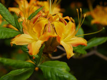 Flamme Azalea Up Close Stockfoto
