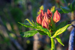 Flamme orange Azalea Buds Photos libres de droits