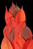Flamme rouge de lame d'automne Photos libres de droits