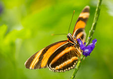 Flamme Tiger Butterfly rouge sur la fleur Photographie stock libre de droits