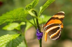 Flamme Tiger Butterfly rouge sur la fleur Photo libre de droits