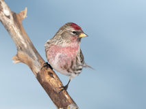 Flammea comum do Carduelis do Redpoll Foto de Stock Royalty Free