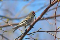 Flammea del Carduelis El primer masculino de los pájaros en árbol Fotos de archivo