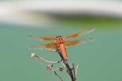Flammen-Abstreicheisen libellula saturata Drachefliege über Wasser Stockfoto