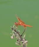 Flammen-Abstreicheisen libellula saturata Drachefliege über Wasser Lizenzfreies Stockfoto