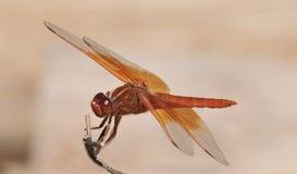 Flammen-Abstreicheisen libellula saturata Drachefliege über Wasser Stockbilder
