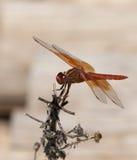 Flammen-Abstreicheisen libellula saturata Drachefliege über Wasser Lizenzfreie Stockbilder