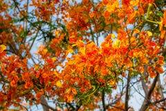 Flammen-Baum-Blume Stockbild