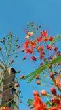 Flammen-Baum-Blume Lizenzfreie Stockbilder