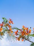 Flammenbaum im blauen Himmel Lizenzfreies Stockfoto