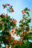 Flammenbaum mit Blume und blauem Himmel Stockfotos