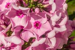 Flammenblume hellrosa Stockfotografie