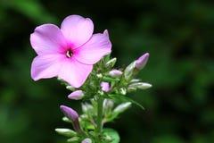 Flammenblume paniculata - beleuchtete Blume u. Knospen Stockfotos