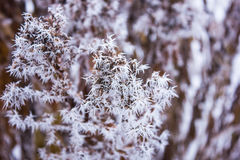 Flammenblumeblumen im Frost Lizenzfreie Stockfotografie