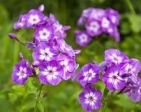 Flammenblumen lila mit weißem Kern Lizenzfreie Stockfotos