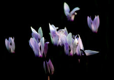 Flammes des Cyclamens Images stock