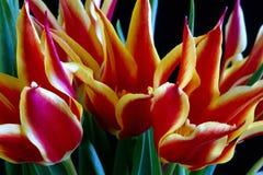 Flamming Tulips Royalty Free Stock Photo