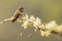 Flammula de Volcano Hummingbird - de Selasphorus fotografia de stock royalty free