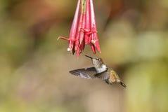 Flammula de Volcano Hummingbird - de Selasphorus imagem de stock royalty free