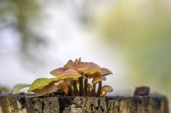 Flammulina velutipes mushroom on wooden shrub, cluster of tasty winter mushrooms. Sunlight royalty free stock photo