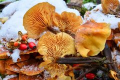 Flammulina velutipes mushrooms in snow. Cluster of Flammulina velutipes or Velvet Shank mushrooms in snow, decorated with some red seeds, edible sort of Royalty Free Stock Photo