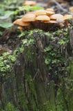 Flammulina velutipes pieczarki Zdjęcie Stock