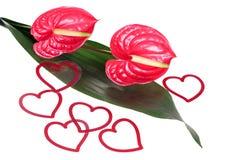Flamongo Flower Stock Photos