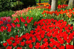 Flamy red and orange tulips in park in spring Stock Photos