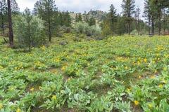 Flanc de coteau de montagne couvert en fleurs jaunes de balsamroot d'arrowleaf au printemps images libres de droits