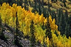 Flanc de montagne Aspen Grove Image stock