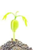 Flanca Afzelia xylocarpa Obrazy Royalty Free
