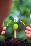 Flanca Afzelia xylocarpa i ludzka ręka Fotografia Royalty Free