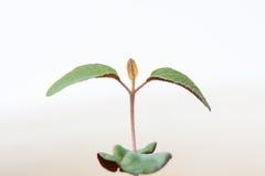 Flanca cytryna eukaliptus Obraz Stock