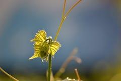 Flanca dzicy winogrona Fotografia Royalty Free