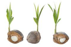 Flanca i płodu pączek kokosowy drzewo na białym tle obrazy royalty free
