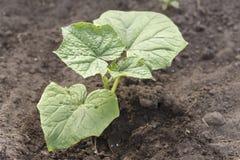 Flanca młody zucchini obraz stock