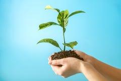 Flanca nowy zielony drzewo w ziemi w istot ludzkich rękach na błękitnym tle Pojęcie ochrona środowiska brązowić dzień zakrywającą zdjęcia stock