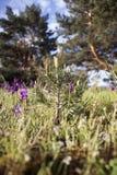 Flanca sosna Młodzi jedlinowi drzewa Zdjęcie Royalty Free