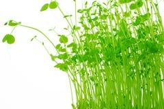 Flanca zieleni grochy Fotografia Royalty Free