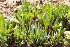 Flance daffodils robi ich sposobowi w sprin z ziemi obraz stock