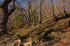 Flanco do monte em uma floresta ensolarada da mola com as árvores desencapadas encaracolado em Ardennes imagem de stock royalty free