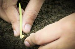 Flancowanie kukurydzana rozsada ręką Obrazy Royalty Free
