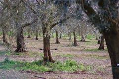 Flancowanie oliwka Zdjęcie Royalty Free
