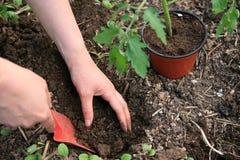 flancowanie pomidory Zdjęcia Stock