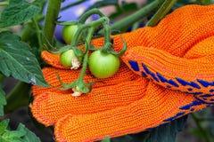 Flancowanie pomidory w ogrodowym działaniu w ogródzie w sumie fotografia royalty free